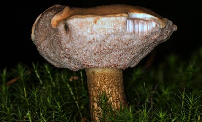 горчак гриб