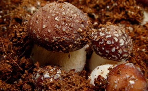 кольцевик гриб