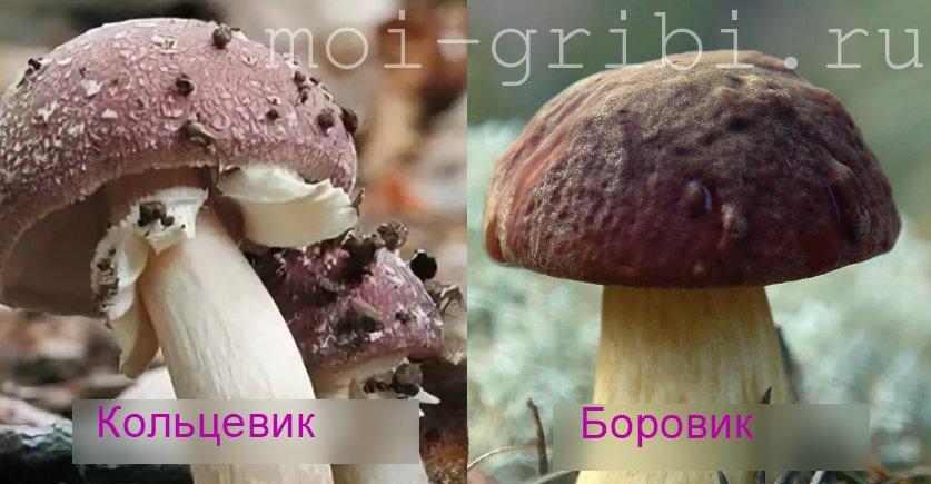 гриб кольцевик