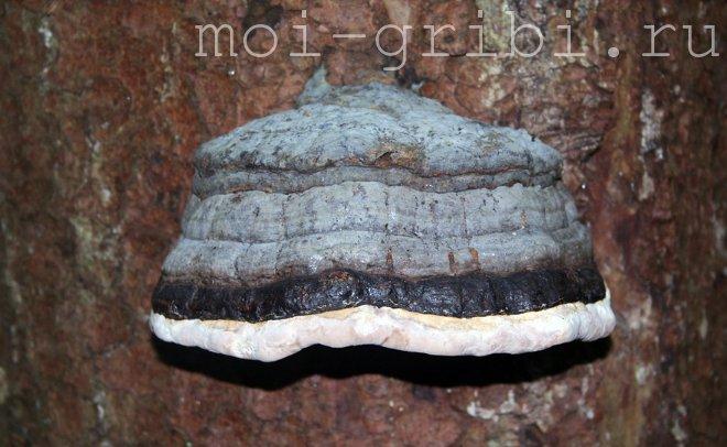 гриб трутовик