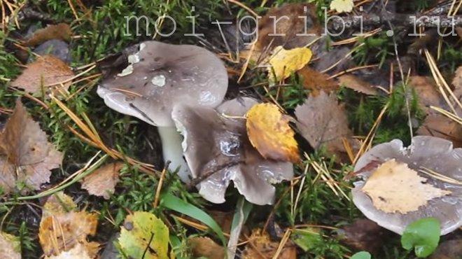 Рядовка гриб