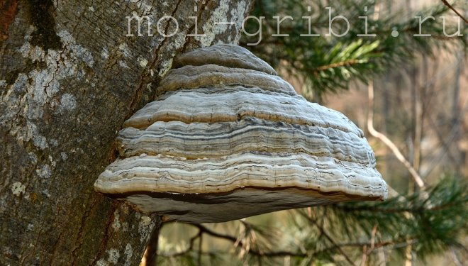 тру́товые грибы