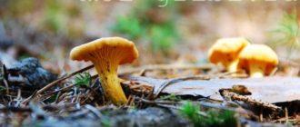 грибы лисички