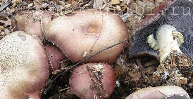 выращивание грибов кольцевик в домашних условиях