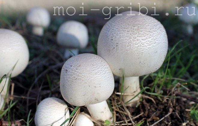 волчий гриб