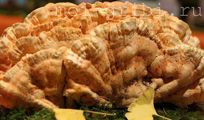 желтый грибочек