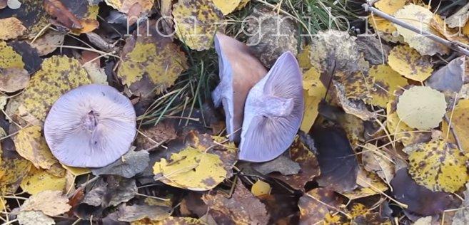 фиолетовый растет в лесу