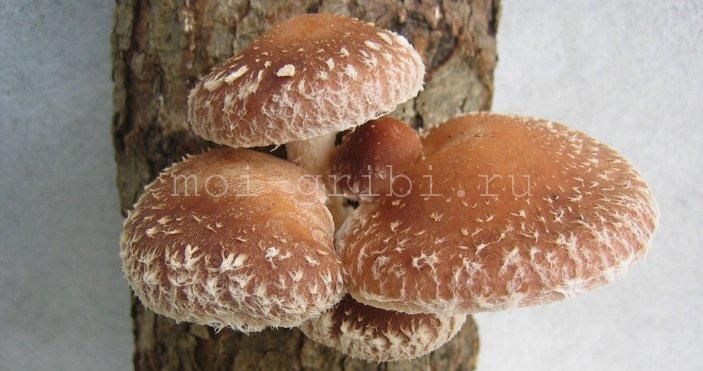 лечебный гриб