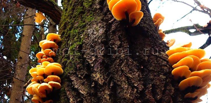 опенок на дереве