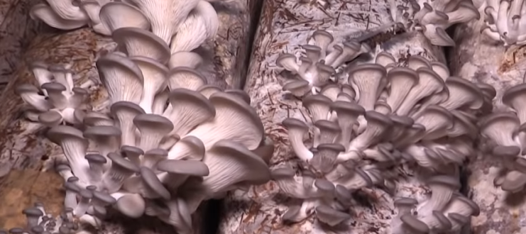 oyster mushrooms в мешках