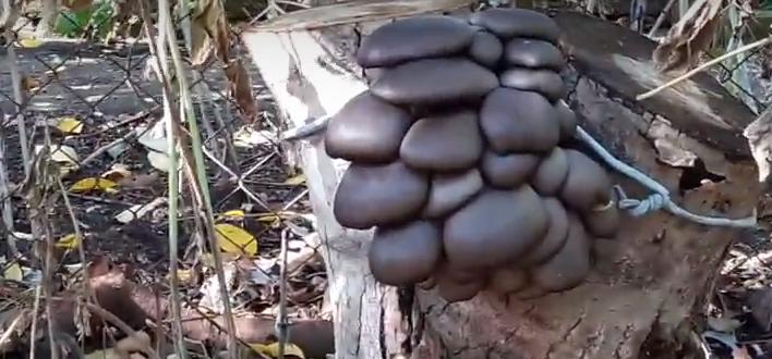 растим грибы на даче