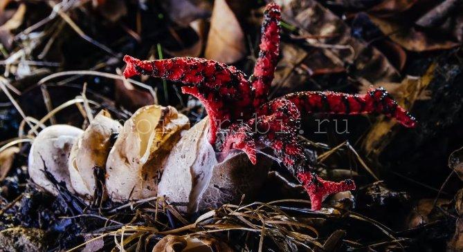 вид грибов рода Решёточник