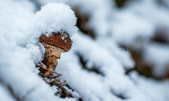 гриб вырос зимой