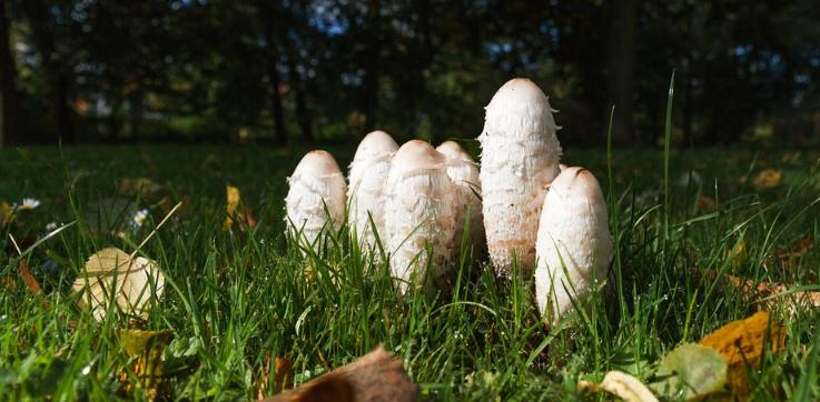 навозник обыкновенный гриб