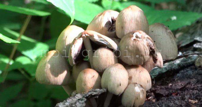 гриб навозник мерцающий