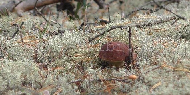 белые грибы в лесу