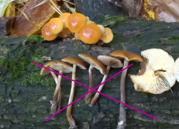сравнение грибов