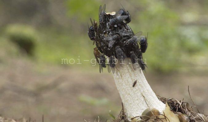 Процесс размножения Весёлки обыкновенной