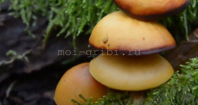 смертельно опасный гриб