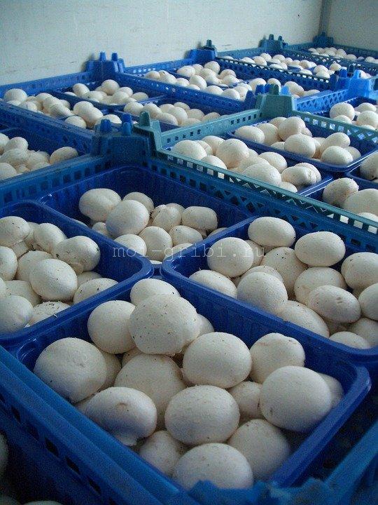 сбор грибов шампиньонов