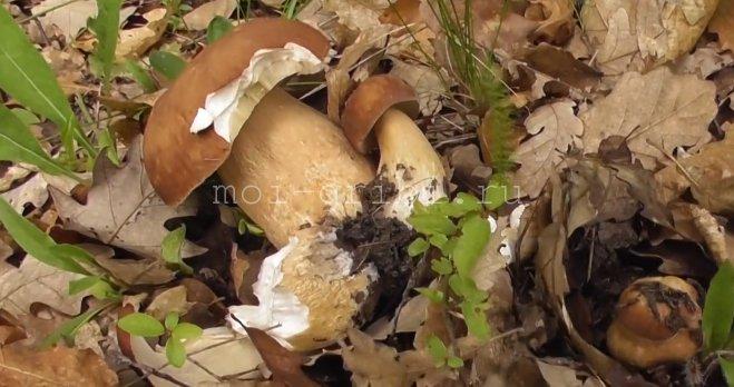 Сетчатый белый гриб