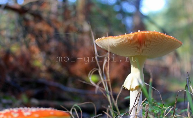 красная шляпка в лесу