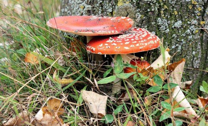 противоречивый гриб