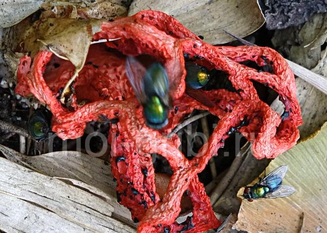 гриб решеточник красный