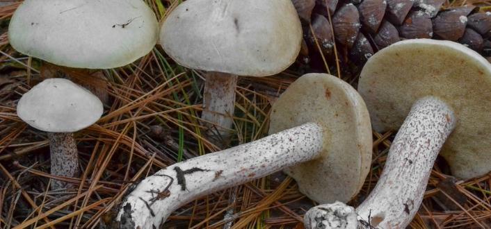 белый масленок гриб