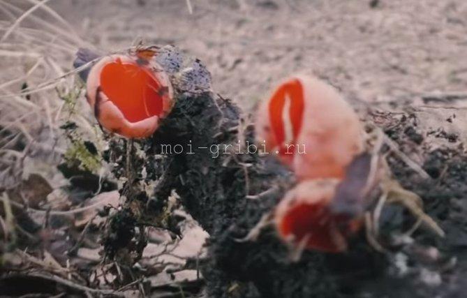 Саркосцифа австрийская (Sarcoscypha austriaca)