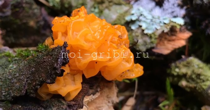 дрожалка гриб