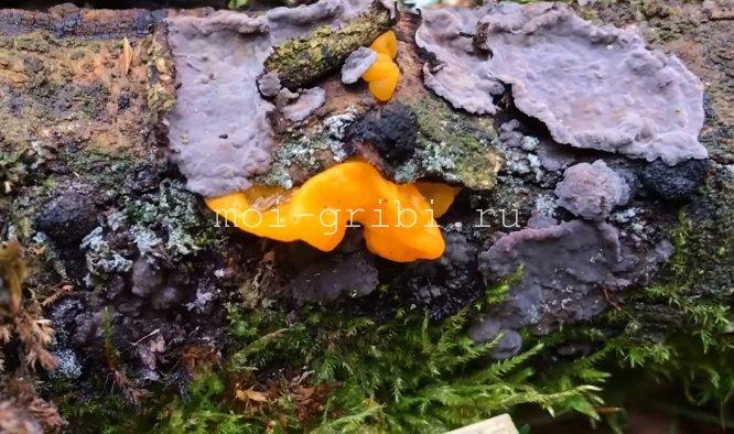 Паразит грибов из рода Peniophora
