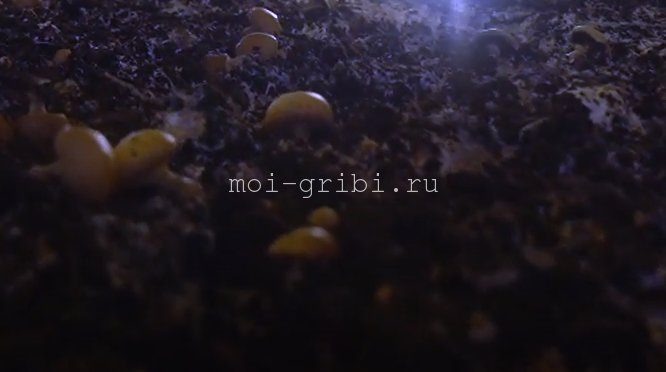 компост отработанный грибной