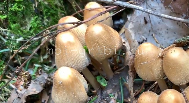 гриб крошащийся