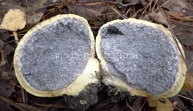 ложнодождевик ядовитый гриб