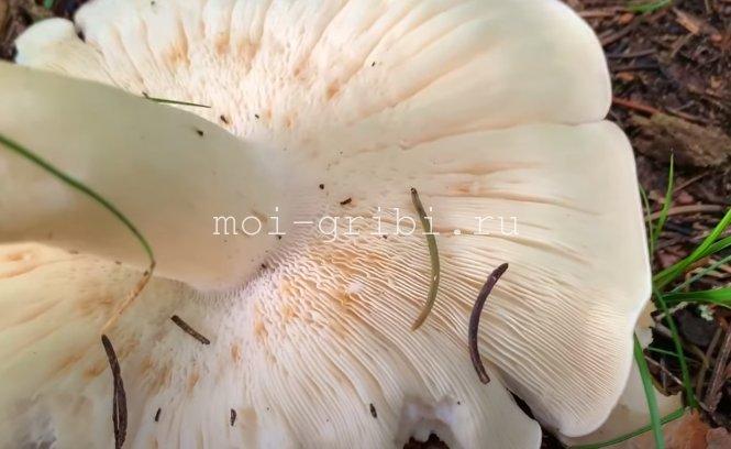 Шляпка Георгиева гриба