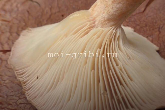 Латинское видовое название helvus