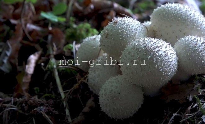 как приготовить гриб дождевик