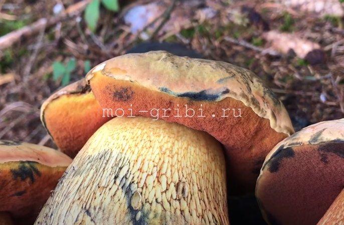 Поддубовик гриб